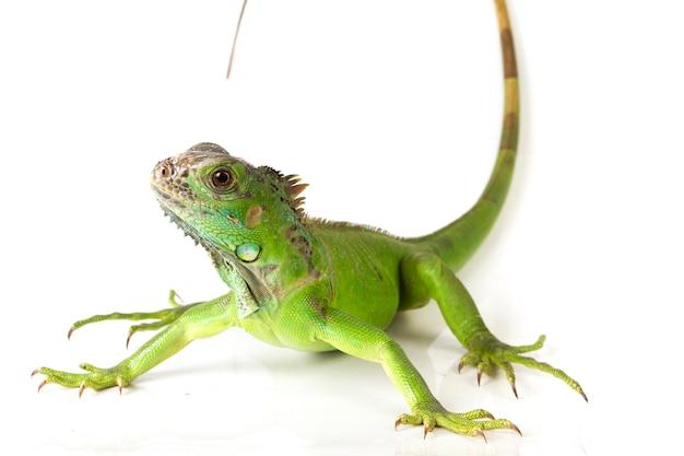 Iguana verde isolata su fondo bianco