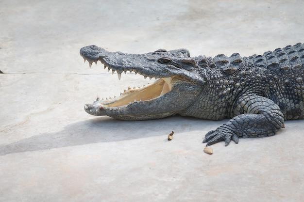Il bagno di sole al coccodrillo in fattoria