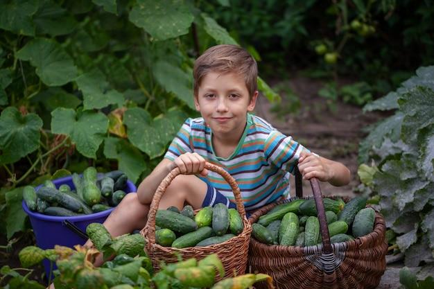 Il bambino raccoglie i cetrioli dal giardino durante la raccolta nel giardino di casa. concetto di mangiare sano.
