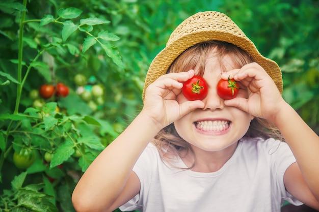 Il bambino raccoglie un raccolto di pomodori fatti in casa. messa a fuoco selettiva.