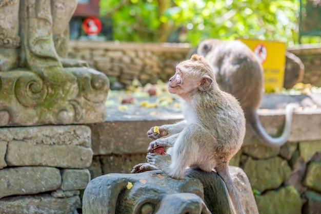 Il bambino scimmia dalla coda lunga balinese mangia i frutti