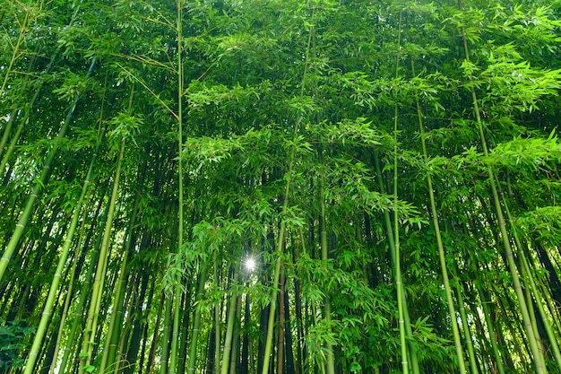 Il bambù verde lascia il materiale di base. foresta di bamboo.