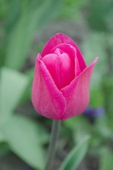 Il bel tulipano rosa trionfa a barcellona. i tulipani fioriscono il bello fondo