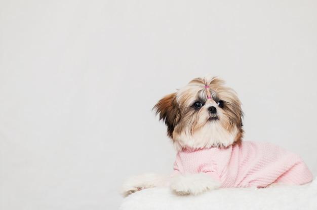 Il bellissimo cucciolo di shih tzu si trova, vestito con un'acconciatura rosa e bella
