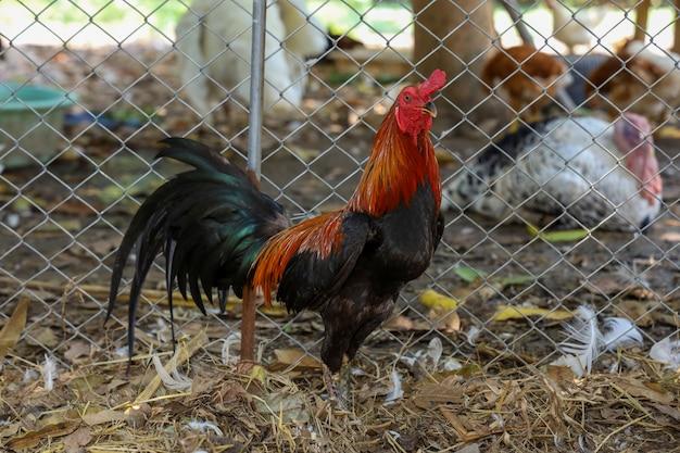 Il bellissimo gallo da combattimento in fattoria in thailandia