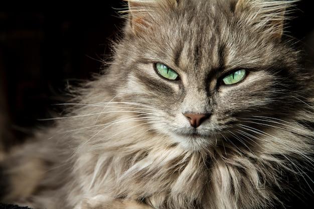 Il bellissimo gatto persiano con lunghi capelli grigi ti guarda con i suoi occhi di un magico verde intenso