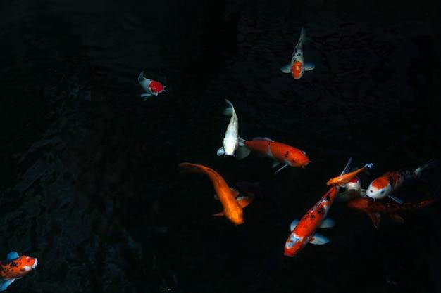Il bellissimo pesce koi nuota nella piscina scura, il pesce carpe o il koi nuota nello stagno del giardino