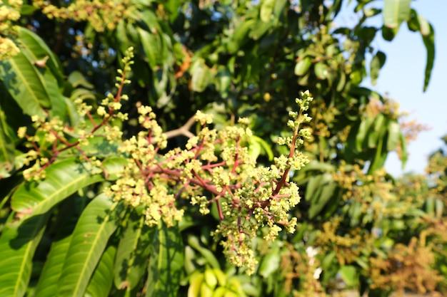 Il bouquet di mango o il fiore di mango fiorisce in pieno sugli alberi di mango nel giardino