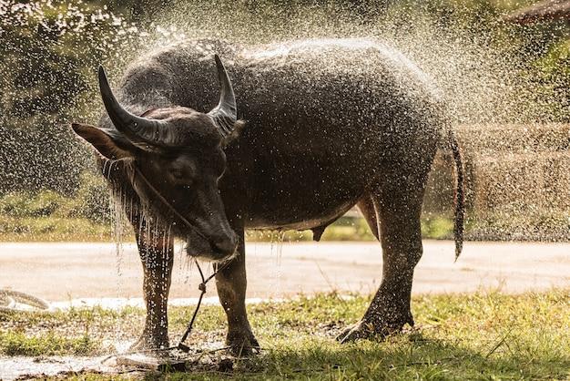 Il bufalo asiatico si gode la spruzzata dell'acqua