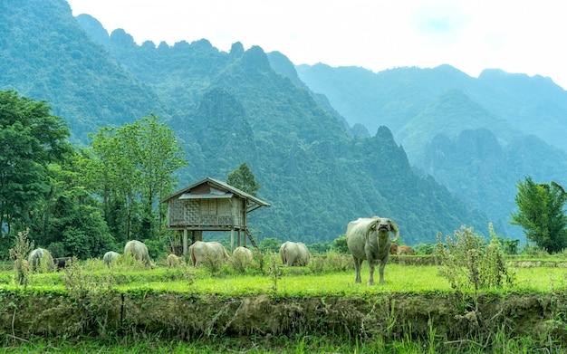 Il bufalo nel campo e la vera bellezza dello stile di vita del villaggio