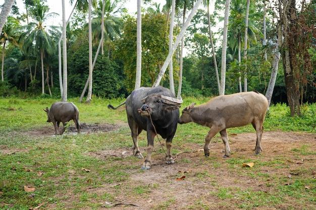 Il bufalo nero pasce in un prato nella giungla tropicale