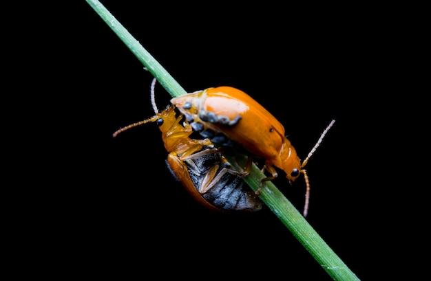 Il bug
