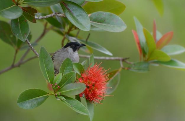 Il bulbul fuligginoso con il fiore rosso, uccello adorabile gode di con il fondo rosso dei fiori