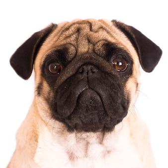 Il cagnolino si siede e guarda direttamente nella telecamera. grandi occhi tristi.