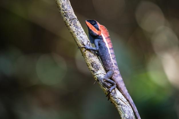 Il camaleonte dell'asia sull'albero
