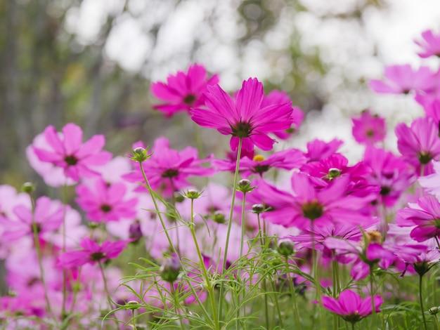 Il campo di fiori freschi e naturali colorati cosmo, prati fioriti