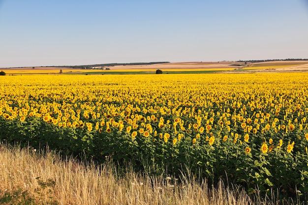 Il campo di girasoli, bulgaria