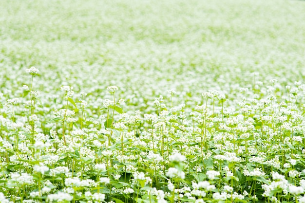 Il campo è pieno di fiori bianchi.