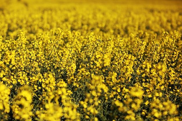Il campo giallo del seme di ravizzone di fioritura fiorisce sulla natura ha offuscato il fondo