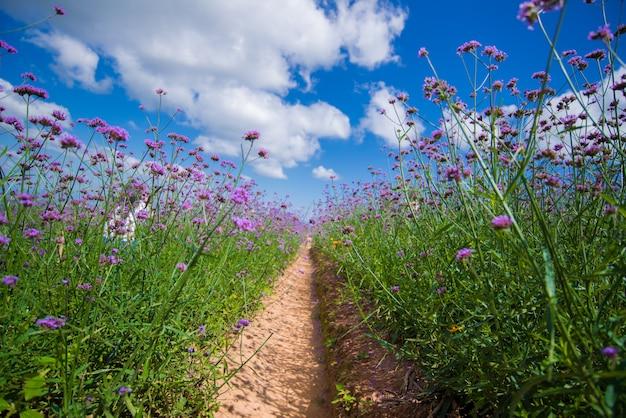 Il campo viola del fiore della verbena con cielo blu.