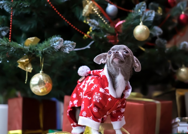 Il cane abbastanza marrone della chihuahua ha vestito santa accanto all'albero di natale