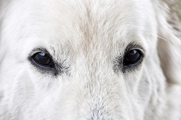 Il cane da pastore bianco osserva il fondo astuto di sguardo
