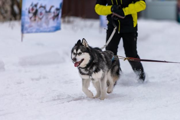 Il cane da slitta husky nell'imbracatura corre e tira l'uomo