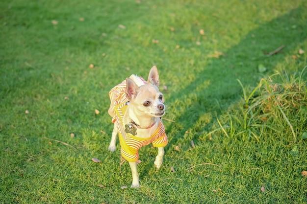 Il cane della chihuahua del primo piano sul pavimento dell'erba davanti alla casa ha strutturato il fondo