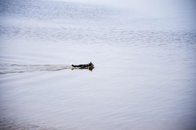 Il cane della razza husky nuota lungo il fiume