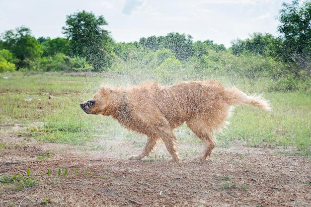 Il cane di golden retriever scuote l'acqua dopo una nuotata