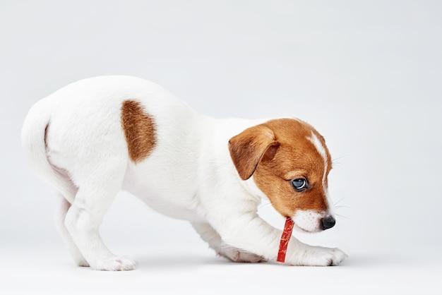 Il cane di jack russel terrier mangia l'alimento delizioso su bianco