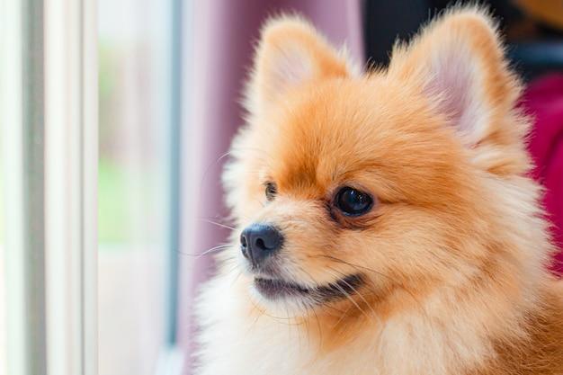 Il cane di pomerania sorride così carino, bellissimo cane di pomerania.