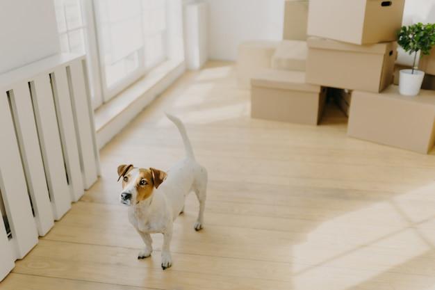 Il cane di razza terrier russel posa in una stanza spaziosa e vuota, rimuove in un nuovo luogo di vita con i suoi ospiti