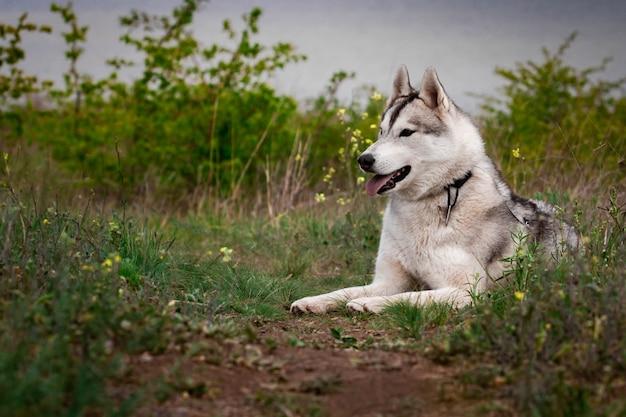 Il cane è sdraiato sull'erba. ritratto di un husky siberiano.