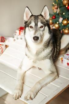 Il cane husky di nuovo anno è seduto vicino all'albero di natale