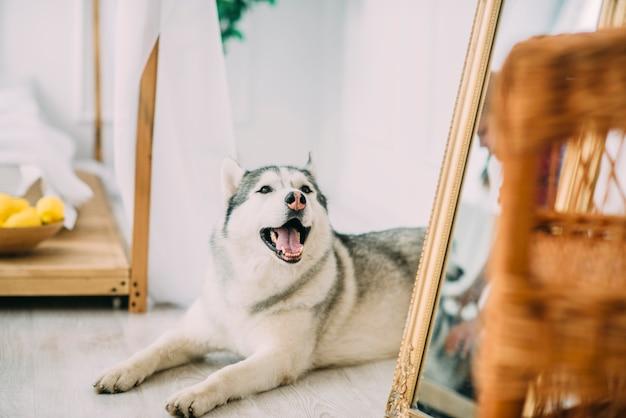 Il cane husky giace sul pavimento di legno vicino ai mirrows e sorride