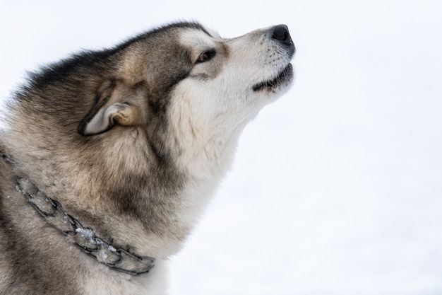 Il cane husky ulula e abbaia, animale domestico divertente. animale domestico divertente sulla camminata prima dell'addestramento di cani da slitta.