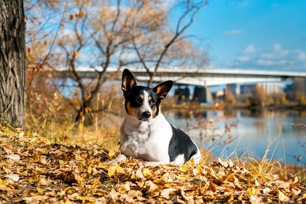 Il cane ibrido cammina nel parco di autunno in una sciarpa.