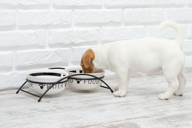 Il cane mangia cibo da una ciotola. jackrussell cucciolo più terier.