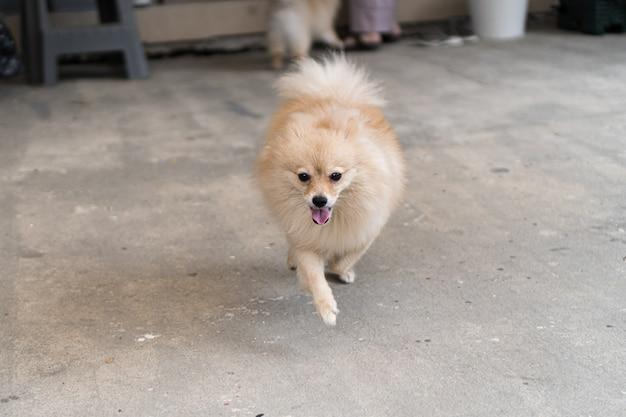Il cane marrone che è di razza pomerania, corre sul terreno di cemento di fronte alla casa