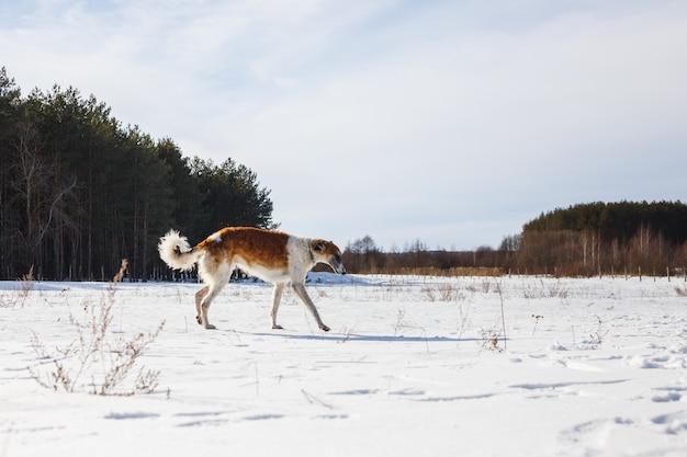Il cane russo dei borzoi passa attraverso un campo nevoso in inverno