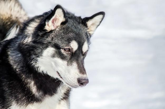 Il cane siberian husky si guarda intorno. cane husky