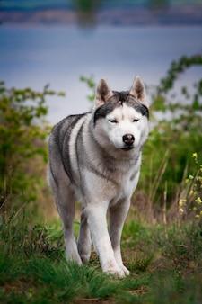 Il cane sta camminando lungo l'erba. cacciatore pericoloso. siberian husky è in esecuzione.
