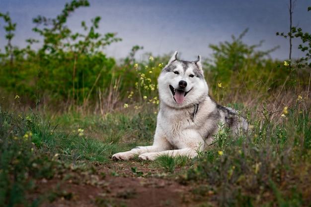 Il cane sta trovandosi sull'erba. ritratto di un husky siberiano. avvicinamento. riposando con un cane in natura. paesaggio con un fiume.