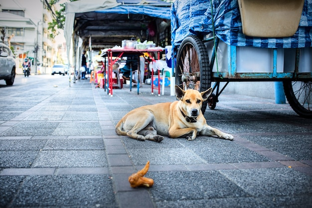 Il cane tailandese che si siede sul pavimento del cemento e guarda il pollo fritto