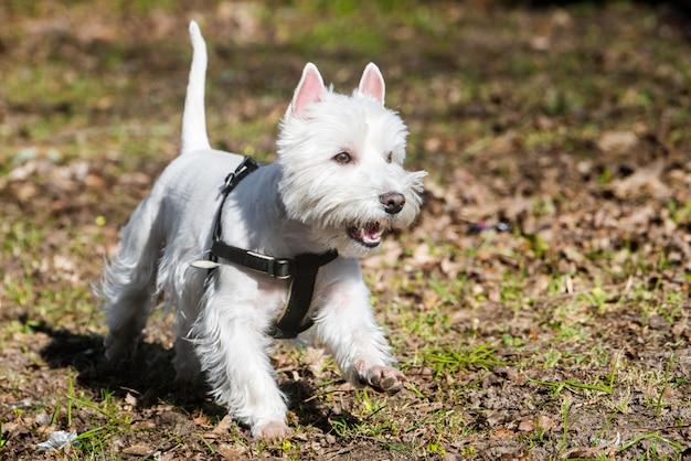 Il cane west highland white terrier sta correndo