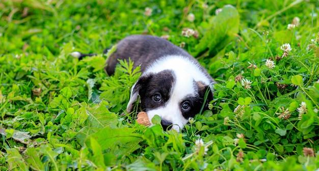 Il cardigan puppy welsh corgi è sdraiato sull'erba