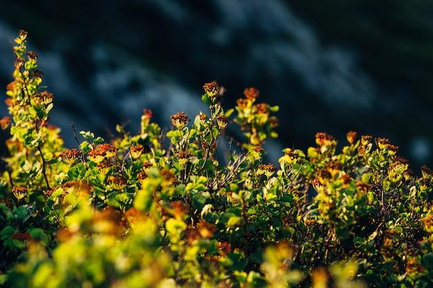 Il cespuglio spiraea si trova nella zona montuosa