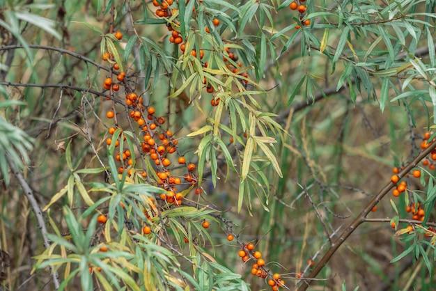 Il cespuglio verde delle bacche arancio succose dell'olivello spinoso si chiude su