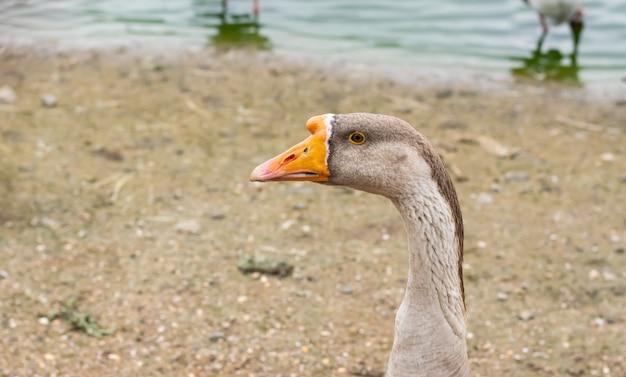 Il cigno dell'oca posa per un'immagine su una priorità bassa sabbiosa.